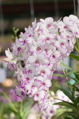 white and pink hybrid Dendrobium orchid flower