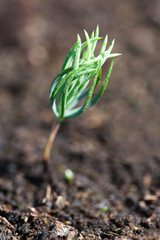 New fir seedling.