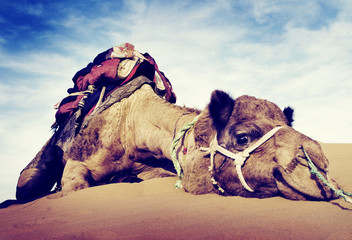 Animal Camel Desert Resting Concepts