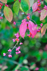 Beautiful autumn background is with the sprig of spindle tree