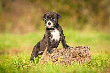 Adorable american staffordshire terrier puppy in autumn