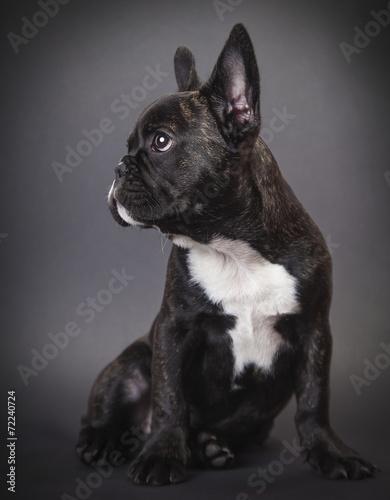 Fototapeta dog pppy french bulldog