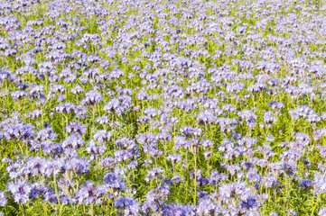 Field of purple flowers and green foliage