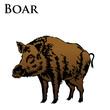 colored boar illustration