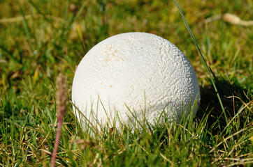 Puffball in the green grass