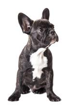 Niewiele Buldog francuski puppy