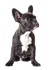 little french bulldog puppy