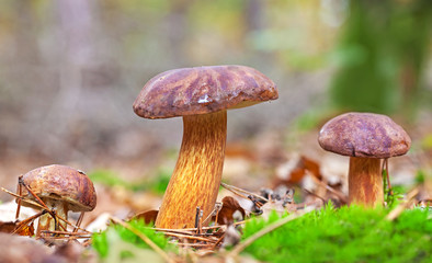 Three autumnal mushrooms in forest.