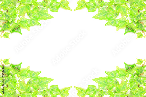 canvas print picture ivy