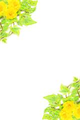 ivy and marigold