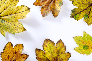 Ahornblätter, Herbstlaub 1542