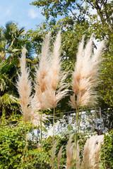 cortaderia selloana plant (pampas grass)
