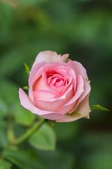 四季咲きのバラ(ギィ ドゥ モーパッサン)