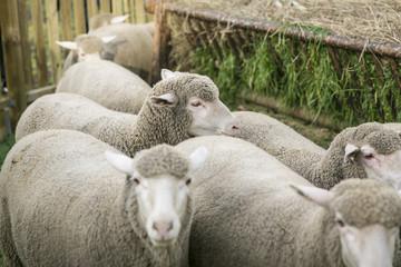 Schafe, Merinoschafe in einem Gehege