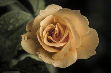 Rosa d'autunno