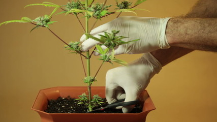 Hands with scissors harvesting Cannabis plant in flowerpot.