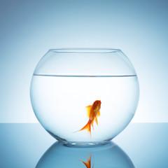 Goldfish im goldfischglas