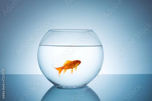 Fototapeta Goldfish in a fishbowl