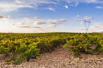 Sunset in the vineyards. La Rioja, Spain