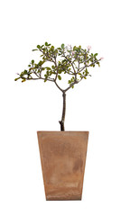 Tree in potted.