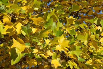 Autumn leaves of a plane tree east (Platanus orientalis L.), bac