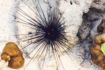Black sea urchin (Arbacia lixula) on the sea floor