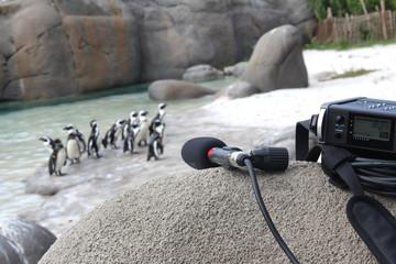 Registrazione audio dei versi di pinguini sulla spiaggia