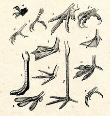 Legs of birds a apus apus, b woodpecker c pheasant d starling