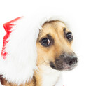 funny portrait of mutts in Christmas red Santa hats isolated on poster