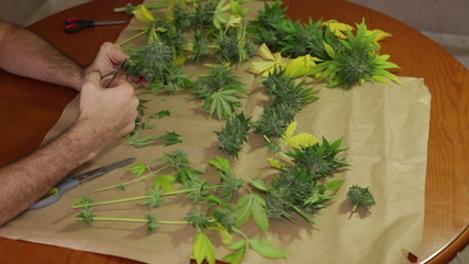 Hands trimming and manicuring harvested marijuana buds