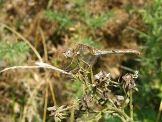 Female Common Darter Dragonfly