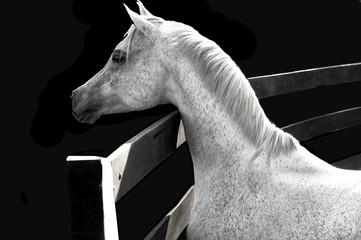 caballo árabe 02