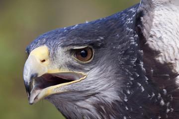 Ave - Aguila Mora - Eagle