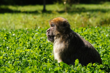 Magot ou Macaque de barbarie dans des herbes hautes