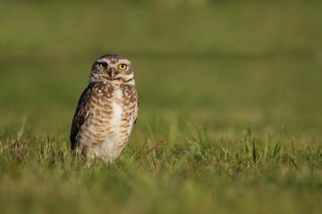 Ave. Lechuza Vizcachera. Burrowing owl