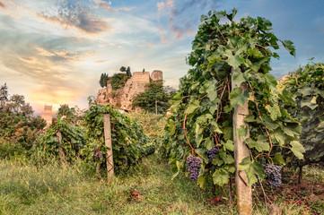 vineyard in Emilia Romagna, Italy