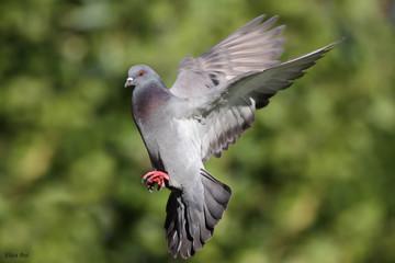 Ave - Paloma Domestica - Pigeon