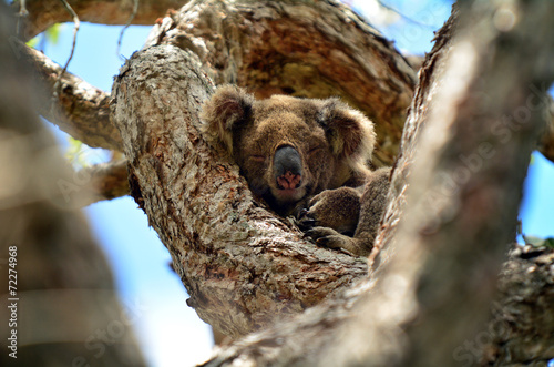 Foto op Plexiglas Koala Koala sleep on a tree