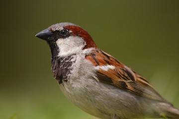 Ave - Gorrion- House sparrow