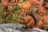 Cute red squirrel in autumn