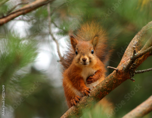 Foto op Canvas Eekhoorn Cute red squirrel in pine tree