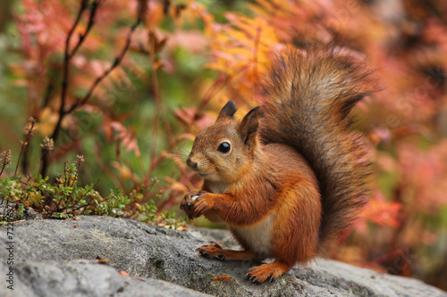 Cute red squirrel in autumn