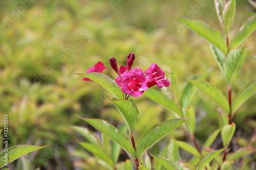 canvas print picture Fleurs roses