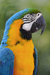 Ave - Papa Gallo - Blue and yellow macaw