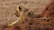 canvas print picture - Löwin in Kenia
