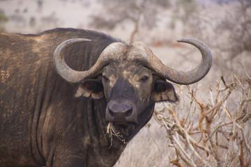 Wasserbüffel in Kenia