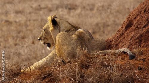 canvas print picture Löwin in Kenia