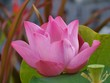 A pink flowering water lily in Thailand