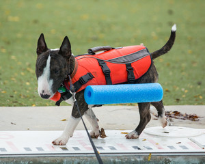 Miniature bull terrier walking around the pool in his vest