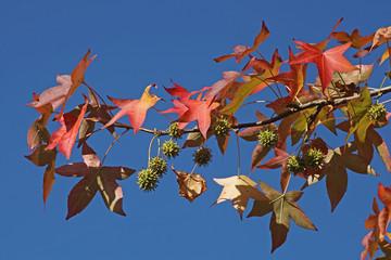 feuillage de liquidambar en automne